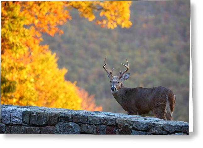 Stones Greeting Cards - Buck in the Fall 08 Greeting Card by Metro DC Photography