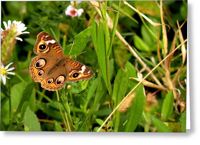 Morph Greeting Cards - Buckeye Butterfly in Nature Greeting Card by Rosalie Scanlon