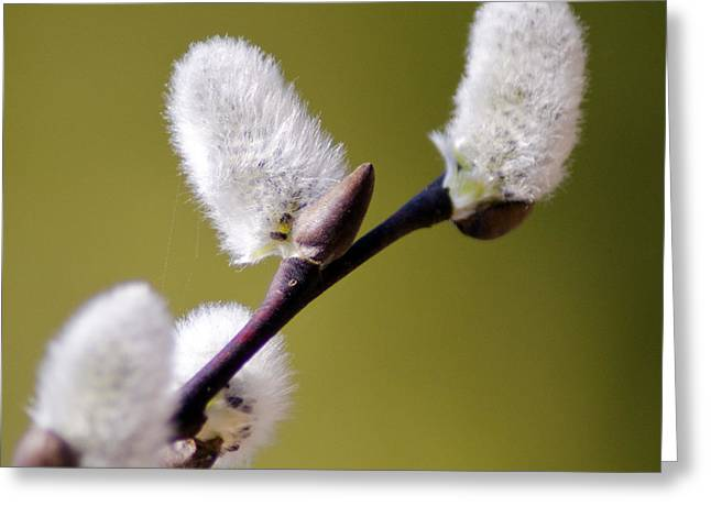 Willow Lake Greeting Cards - Budding Pussy Willow Greeting Card by LeeAnn McLaneGoetz McLaneGoetzStudioLLCcom