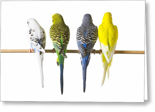 Posterior. Greeting Cards - Budgie Bird Posteriors Greeting Card by Corey Hochachka