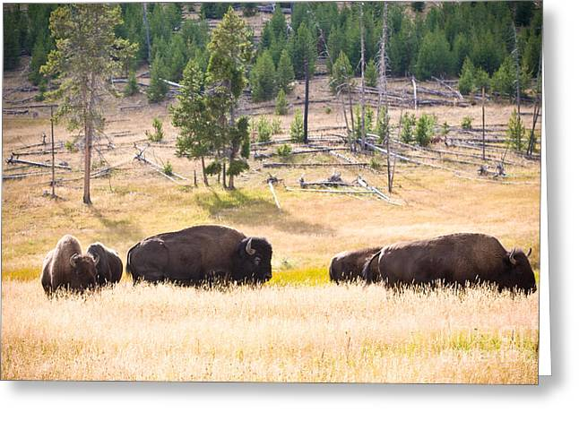 Buffalo In Golden Grass Greeting Card by Cindy Singleton
