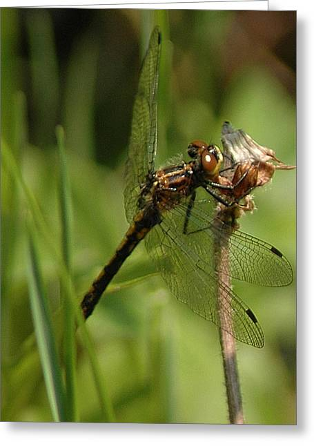 Nature Center Pond Greeting Cards - Bug Eyed Dragon Fly Greeting Card by LeeAnn McLaneGoetz McLaneGoetzStudioLLCcom