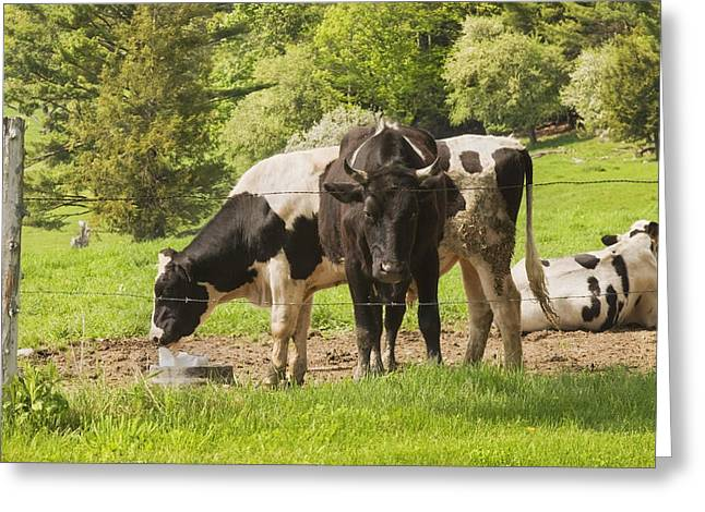 Domestic Cattle Greeting Cards - Bull And Cows Grazing On Grass In Farm Maine Greeting Card by Keith Webber Jr