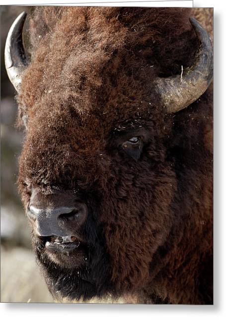 Buffalo Extinction Greeting Cards - Bull Bison Greeting Card by D Robert Franz
