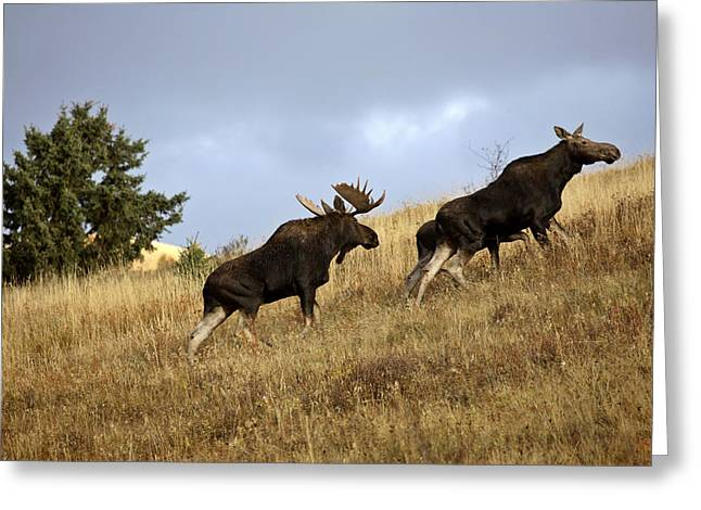 Cypress Hills Provincial Park Greeting Cards - Bull cow and moose calf in the Cypress Hills Park Greeting Card by Mark Duffy