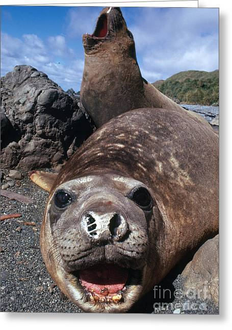 Elephant Seals Greeting Cards - Bull Elephant Seals Greeting Card by George Holton and Photo Researchers