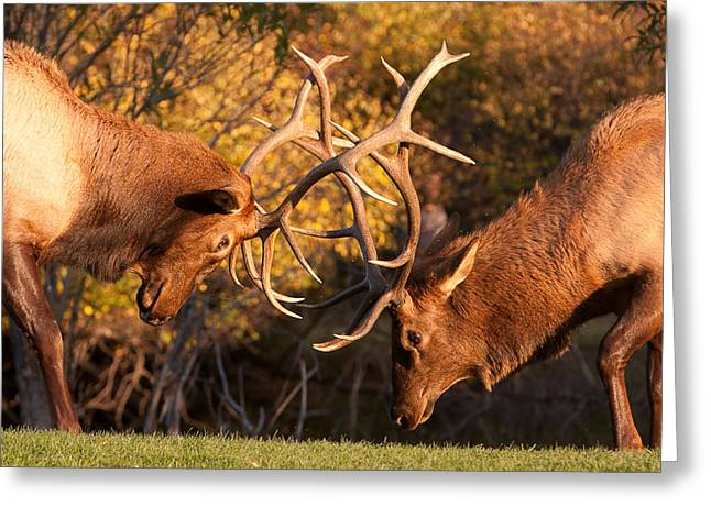 Sparring Greeting Cards - Bull Elk Sparring 80 Greeting Card by James BO  Insogna