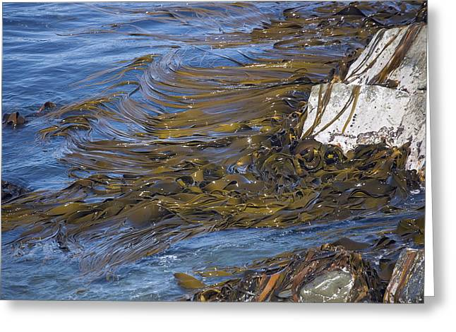 Best Sellers -  - Algal Greeting Cards - Bull Kelp Bed Greeting Card by Bob Gibbons