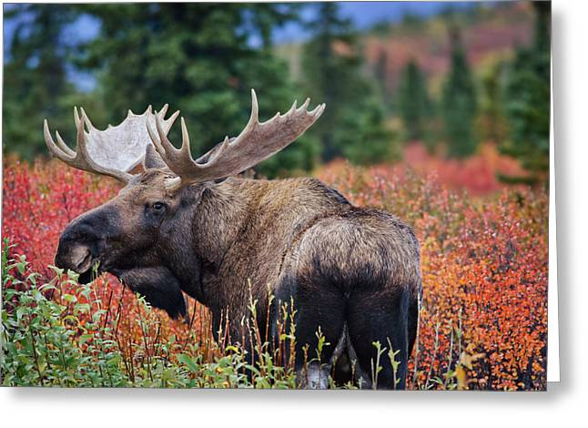 Bull Moose In The Fall Colors Greeting Card by Thomas Payer
