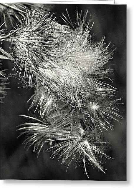 Bull Thistle Monochrome Greeting Card by Steve Harrington