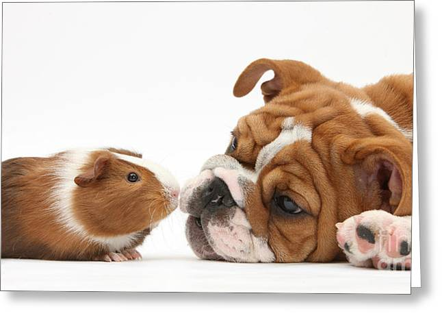 Face To Face Greeting Cards - Bulldog Pup Face-to-face With Guinea Pig Greeting Card by Mark Taylor