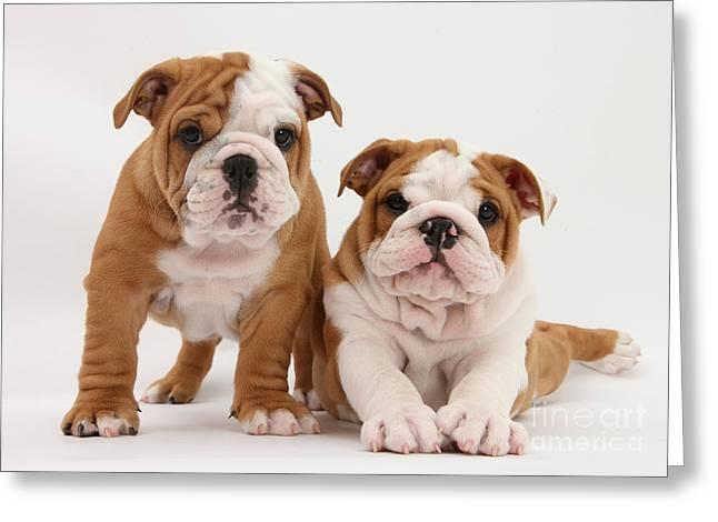 Purebreed Greeting Cards - Bulldog Puppies Greeting Card by Mark Taylor