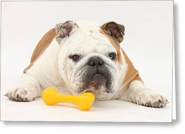Toy Dogs Greeting Cards - Bulldog With Plastic Chew Toy Greeting Card by Mark Taylor