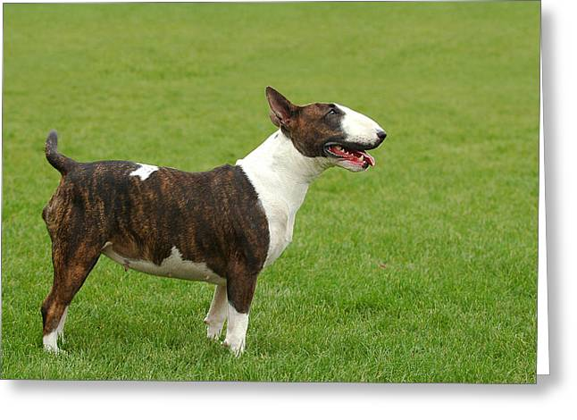 Crime Fighter Greeting Cards - Bullterrier portrait at green Greeting Card by Waldek Dabrowski