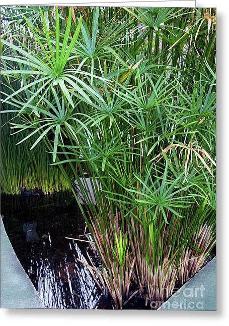 Bulrushes Greeting Cards - Bulrush (cyperus Papyrus) Greeting Card by Sheila Terry