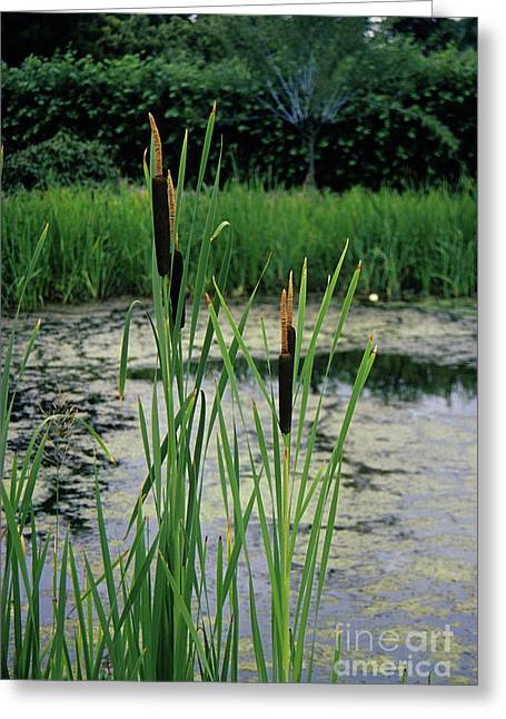 Quartet Photographs Greeting Cards - Bulrushes Greeting Card by Duncan Smith