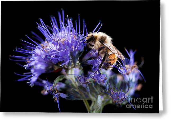 Spirea Greeting Cards - Bumble Bee on Blue Flower Greeting Card by Cindy Singleton