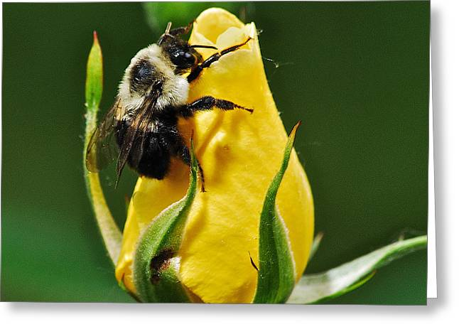 Peychich Greeting Cards - Bumble bee on rose  Greeting Card by Michael Peychich