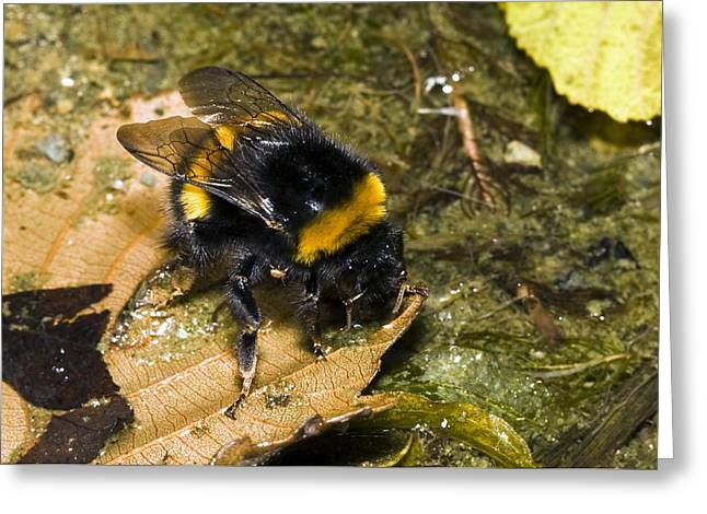 Endymion Greeting Cards - Bumblebee Drinking Greeting Card by Paul Harcourt Davies