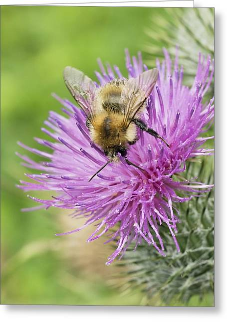 Eating Entomology Greeting Cards - Bumblebee Feeding On A Spear Thistle Greeting Card by Adrian Bicker