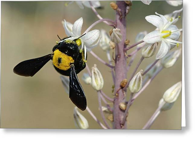Bumblebee On Sea Squill Flowers Greeting Card by Photostock-israel