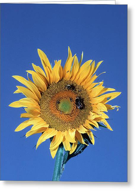 Fertilization Greeting Cards - Bumblebees Pollinating A Sunflower Greeting Card by Georgette Douwma