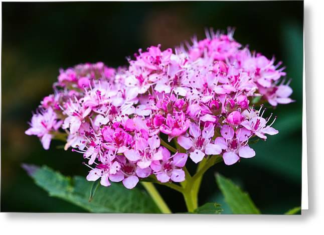Spirea Greeting Cards - Bunch of Pink Greeting Card by David Waldo