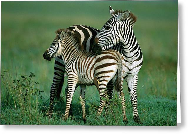 Ai Greeting Cards - Burchells Zebra Equus Burchellii Female Greeting Card by Ferrero-Labat