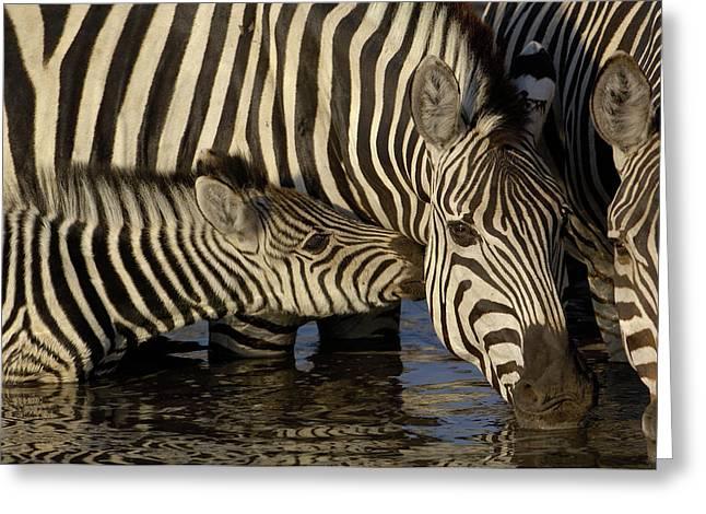 Interacting Greeting Cards - Burchells Zebra Equus Burchellii Foal Greeting Card by Pete Oxford