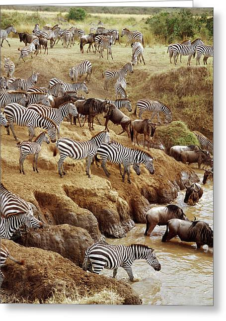 White Beard Photographs Greeting Cards - Burchells Zebra Equus Burchellii Greeting Card by Gerry Ellis