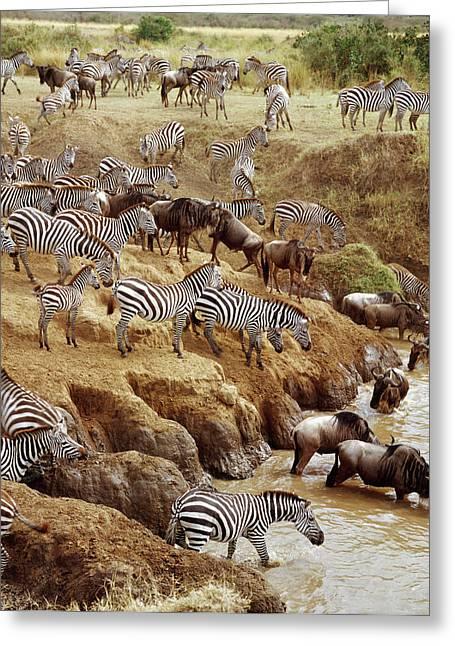 White Beard Greeting Cards - Burchells Zebra Equus Burchellii Greeting Card by Gerry Ellis