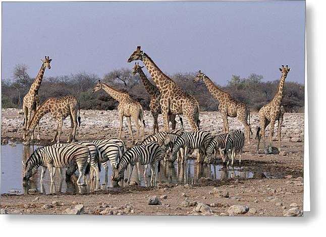 Mp Greeting Cards - Burchells Zebra Equus Burchellii Greeting Card by Michael & Patricia Fogden