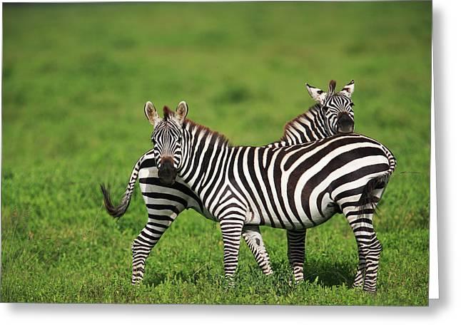 Equidae Greeting Cards - Burchells Zebra Equus Burchellii Pair Greeting Card by Cyril Ruoso