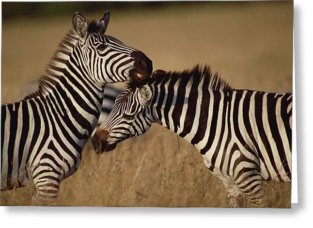 Reserve Greeting Cards - Burchells Zebra Equus Burchellii Pair Greeting Card by Gerry Ellis
