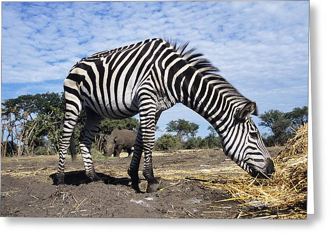 Zebra Eating Greeting Cards - Burchells Zebra Greeting Card by Peter Chadwick