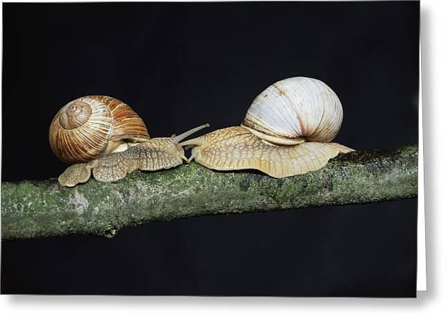 Helix Greeting Cards - Burgundy Snails Greeting Card by Bjorn Svensson
