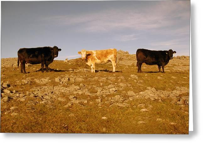 Irish Farm Greeting Cards - Burren Cattle Greeting Card by John Quinn