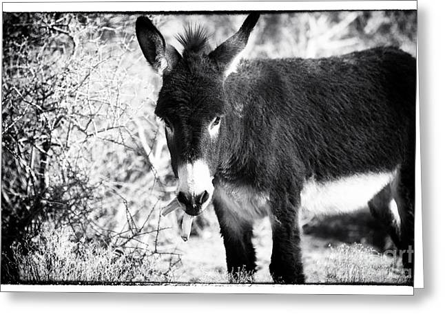 Burros Greeting Cards - Burro and the Banana Greeting Card by John Rizzuto