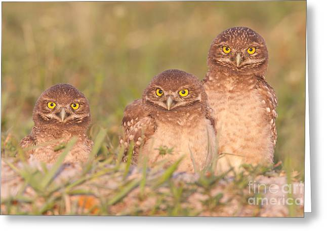 Three Chicks Greeting Cards - Burrowing Owl Siblings Greeting Card by Clarence Holmes