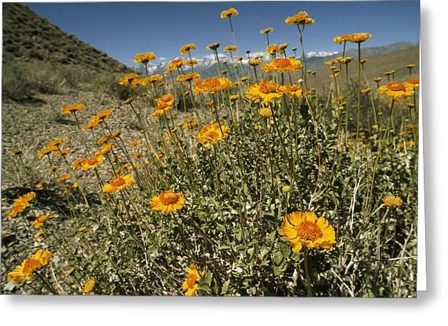 Arid Life Photographs Greeting Cards - Bush Sunflowers Grow On Arid Slope Greeting Card by Gordon Wiltsie