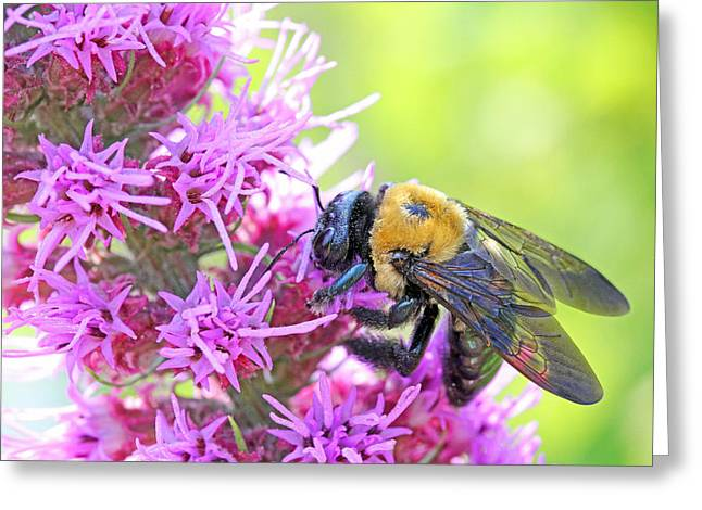 Busy as a bee Greeting Card by Becky Lodes