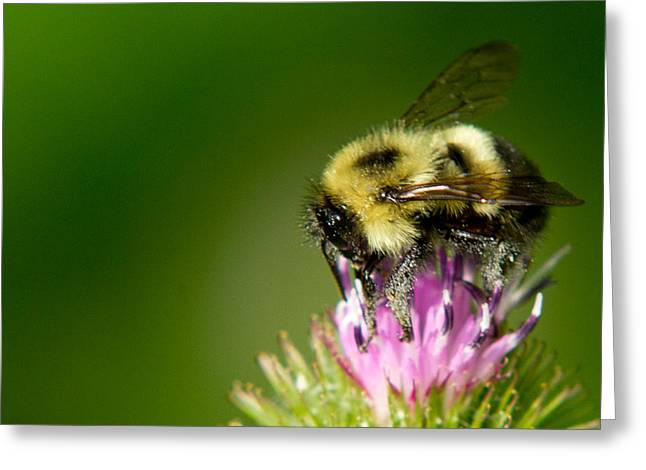 Frank Pietlock Greeting Cards - Busy Bee Greeting Card by Frank Pietlock