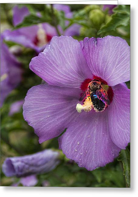 Hibiscus Greeting Cards - Busy Bee Greeting Card by Peter Chilelli