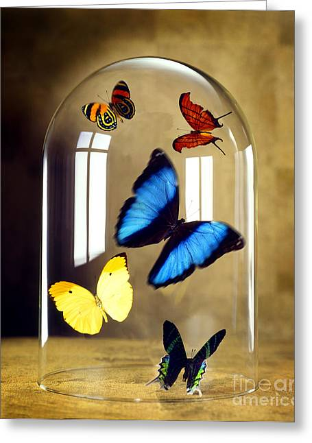 Flying Insect Greeting Cards - Butterflies under glass dome Greeting Card by Tony Cordoza