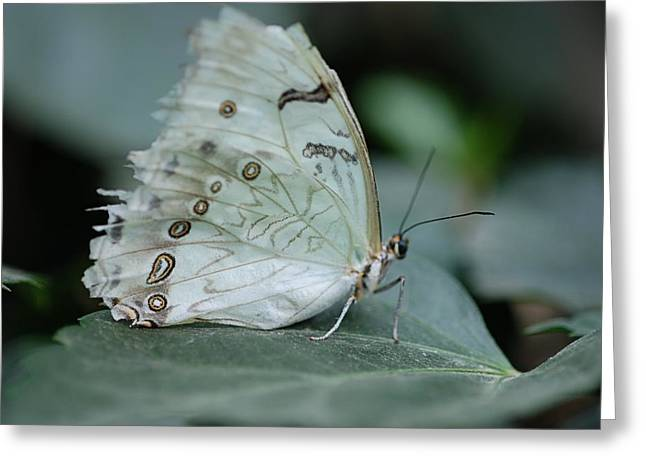 Butterfly 04. Greeting Card by Francois Cartier