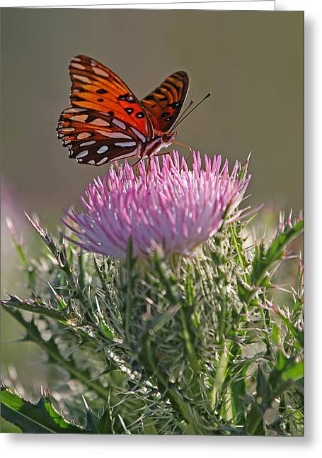 Blue Thistles Greeting Cards - Butterfly and Thistle Greeting Card by Juergen Roth