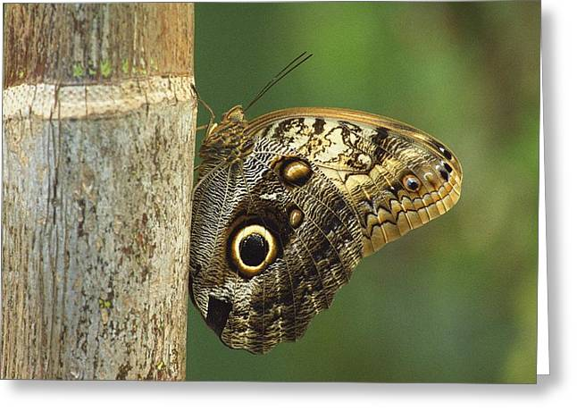 Tree Creature Greeting Cards - Butterfly Greeting Card by Bilderbuch