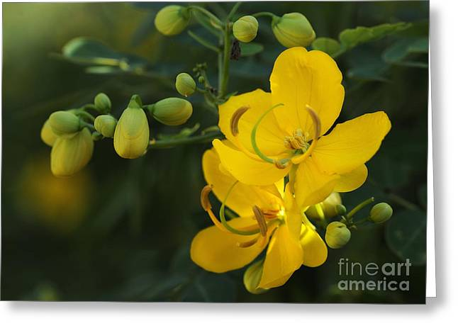 Cassia Greeting Cards - Butterfly Bush Greeting Card by Nancy Greenland