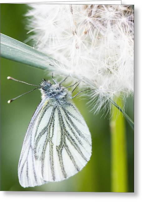 Blume Greeting Cards - Butterfly dandelion Greeting Card by Falko Follert