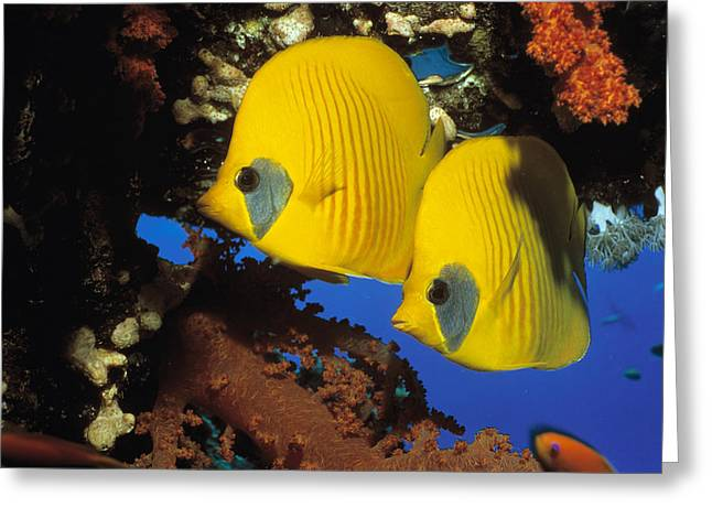 Chaetodon Semilarvatus Greeting Cards - Butterfly Fish Greeting Card by Georgette Douwma